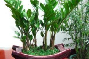 門口風水植物