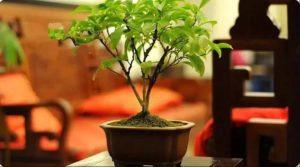 客廳招財植物