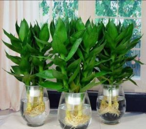 店舖風水植物